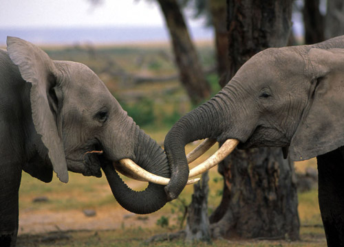 Two young elephant bulls play fighting in Amboseli National Park, Kenya.